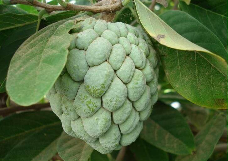 Selina wamucii Kenya custard apple